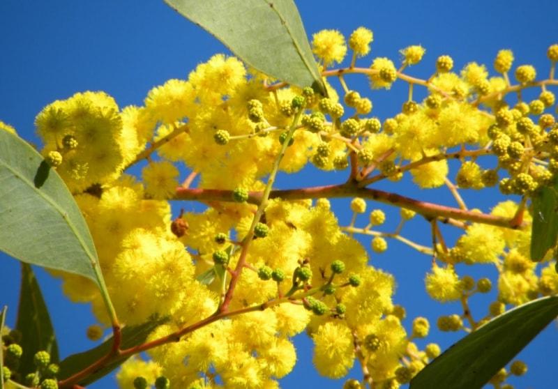 австралийская акация на фоне голубого неба