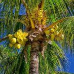 кокосовая пальма в природе