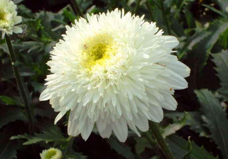 Нивяник махровый: выращивание, сорта